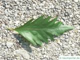 Eichenblatt-Buche (Fagus sylavatica 'Quercifolia') Blatt