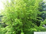 persisches Eisenholz (Parrotia persica) Krone im Sommer