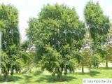 Felsen-Ahorn (Acer monspessulanum) Baum im Sommer