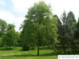 Ferkelnuss (Carya glabra) Baum im Sommer