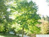 Gutaperchabaum (Eucommia ulmoides)  Baum im Sommer