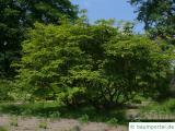 japanischer Feuer-Ahorn (Acer japonicum 'Aconitifolium') Baum im Sommer