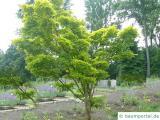 japanischer Ahorn (Acer japonicum) Baum im Sommer