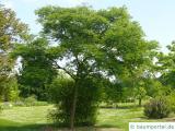japanischer Korkbaum (Phellodendron japonicum) Baum im Sommer