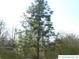 Jeffreys Kiefer (Pinus jeffreyi) Baum