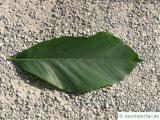 Kerb-Buche (Fagus crenata) Blatt