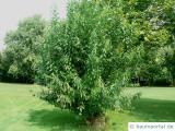 Knack-Weide (Salix fragilis) Baum