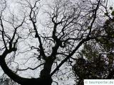 kolchischer Ahorn (Acer cappadocicum) Baumkrone im Winter
