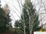 amerikanischer Schlangen-Ahorn (Acer pensylvanicum) im Winter