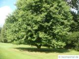 Silber-Ahorn (Acer saccharinum) Baum im Sommer
