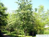spähtblühende Trauben-Kirsche (Prunus serotina) Baum