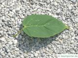 Vermont-Ahorn (Acer spicatum) Blatt