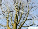 Zucker-Ahorn (Acer saccharum) die Krone im Winter