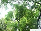 amerikanischer Zürgelbaum (Celtis occidentalis) Baum
