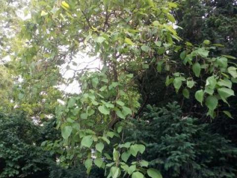 20210616.trompetenbaum.habitus.jpg