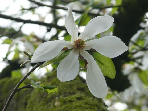 magnolien-baum-bluete.jpg