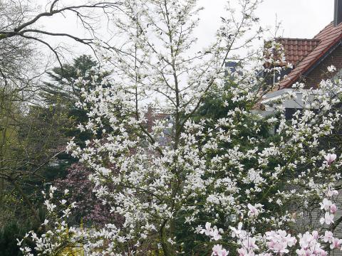 magnolien-baum-magnolie.jpg