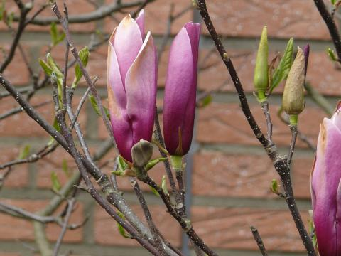 magnolien-purpur-bluete.jpg