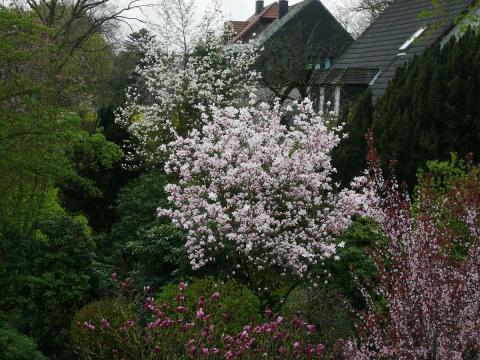 magnolien-tulpen-magnolie.jpg