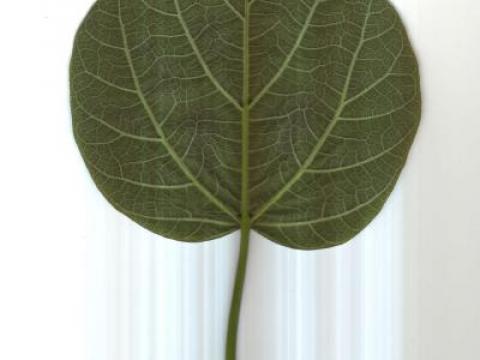 trompetenbaum.blattunterseite.jpg