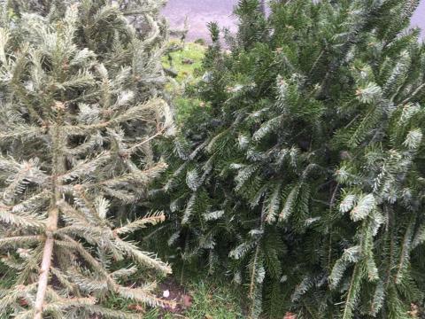 weihnachtsbaeume-1.jpg