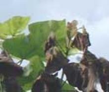 catalpa verticillum welke