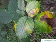 Blattflecken durch Pilze verursacht