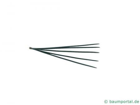 biegsame Kiefer (Pinus flexilis) Nadel