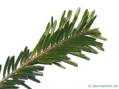 Weisstanne (Abies alba) Nadeln
