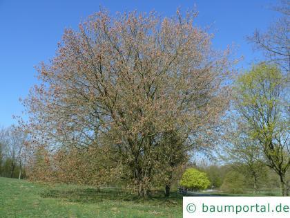 Eschen-Ahorn (Acer negundo) Baum im Frühjahr