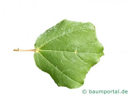 Syrischer Ahorn (Acer obtusifolium) Blatt