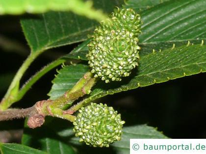 Alnus Firma Frucht / Zapfen
