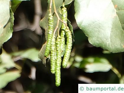 orientalische Erle (Alnus orientalis) Fruchtstand