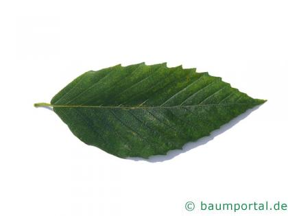 amerikanische Buche (Fagus grandiflora) Blatt
