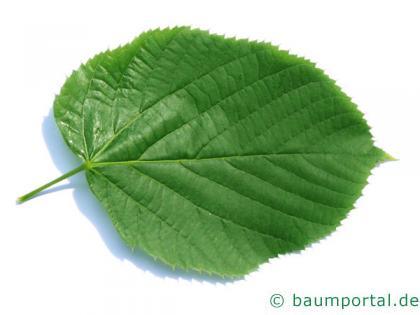 riesenblättrige Linde (Tilia americacna 'Nova') Blatt