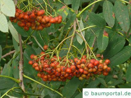 amerikanische Mehlbeere (Sorbus americana) Früchte im Herbst