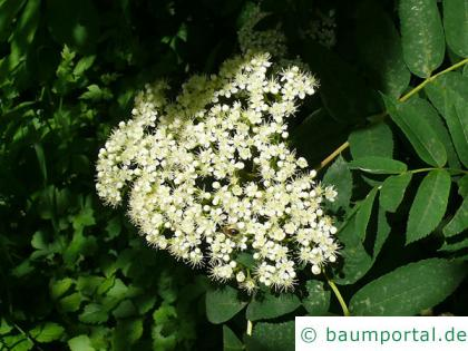 amerikanische Mehlbeere (Sorbus americana) Blüte