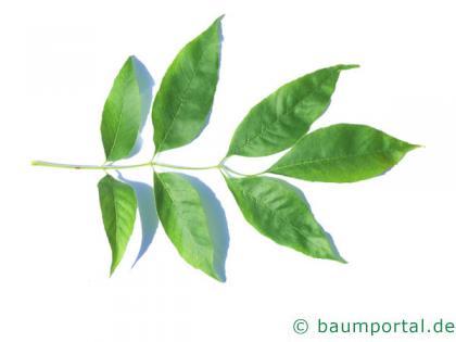 Arizona-Esche (Fraxinus velutina) Blatt