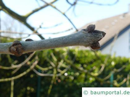 Arizona-Esche (Fraxinus velutina) Knospen