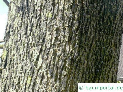 Arizona-Esche (Fraxinus velutina) Stamm / Rinde / Borke