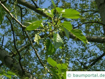 Balsam-Pappel (Populus balsamifera) Frucht
