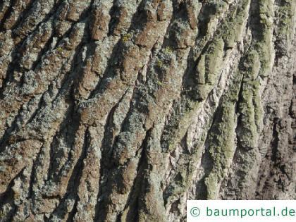 Balsam-Pappel (Populus balsamifera) Stamm / Borke / Rinde