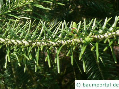 Banks-Kiefer (Pinus kanksiana) Nadeln am Zweig