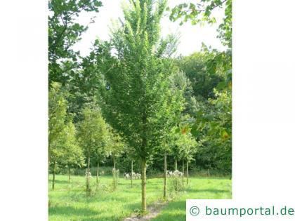 Berg-Ulme (Ulmus glabra) Baum im Sommer