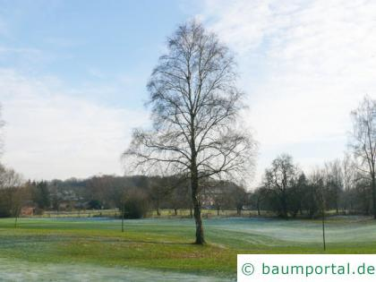 Birke (Betula pendula) der Baum im Winter