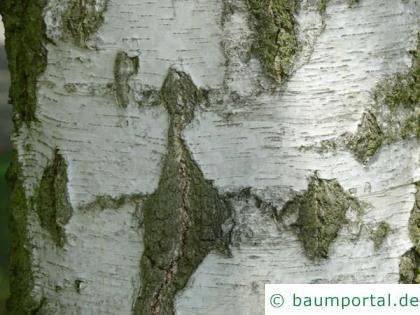 Birke (Betula pendula) der Stamm ist schwarz-weiß