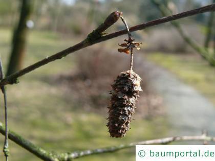 Blau-Birke (Betula caerulea) Frucht / Zapfen