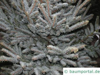 Blaufichte (Picea pungens 'Glauca') Nadeln