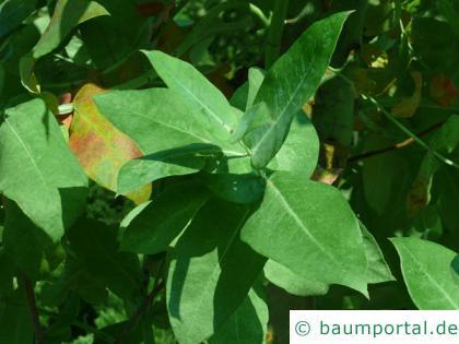Blaugummibaum (Eucalyptus globulus) Blatt