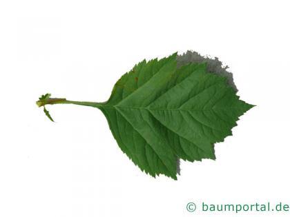 Blut-Weißdorn (Crataegus sanguinea) Blatt